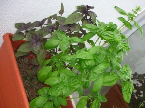 My Two Lovely (Still Alive) Basil Plants