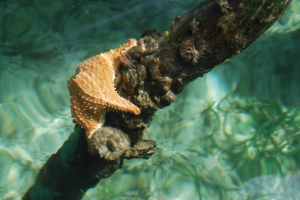 A starfish in Bocas del Toro